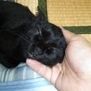 もうすぐ1歳になる、黒猫のメスもらってください。