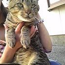 トラ猫の男の子の里親さん募集