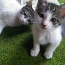 チビニャン*サッチン*とママ猫*ラズベリー*(そっくり白キジ柄)親...