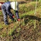 尾花沢市でアスパラ収穫作業など
