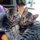 【お試し中】生後3ヶ月の可愛い仔猫です。