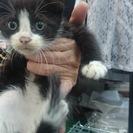 碧南市    子猫ちゃん  黒白ちゃん