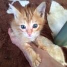 茶トラ  2ヶ月ぐらいの仔猫  オス