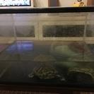 ミドリガメ1匹と水槽