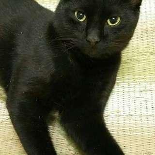 とても美人な黒の保護猫ちゃん!