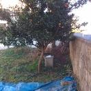 0円。大実金柑の木(約3m)を無料で差し上げます。掘り出して持って...