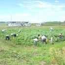 2013 筑波エンドウファーム 春のジャガイモ掘り祭り