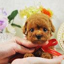 サマーセール開催 かわいいプードル・マルチーズ・ポメラニアンの子犬...