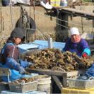 【短期アルバイト募集】牡蠣の選別作業(10月中旬~2月末)