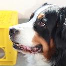 バーニーズ 雌 6歳 血統書付き 訓練の行き届いた良い犬です。里親...
