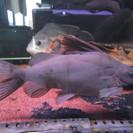 熱帯魚あげます シノドンティス