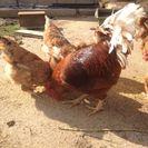 鶏をもらってくれる方を探しています。