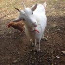 メス山羊をもらってくれる方を探しています。