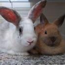 ネザーランドとミニウサギの里親募集です