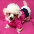小さめトイプードル♀ハンディ犬