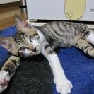 ハンデがあっても元気で人なつこい子猫 2ヶ月 きじ白
