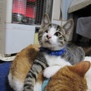 ハンデがあっても元気で人なつこい子猫 2ヶ月 きじ白 やん坊