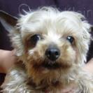 ヨークシャーテリア 成犬