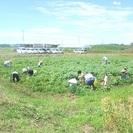 2014年 筑波エンドウファーム春のジャガイモ掘り祭り