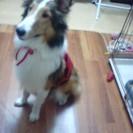 人懐っこく美人さん!シェルティ1歳2カ月の里親になってください。