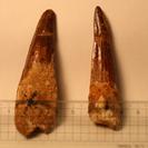スピノサウルスの歯の化石