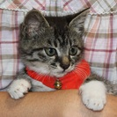 2か月のやんちゃなかわいい子猫の里親になってください!
