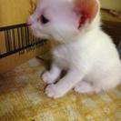 オッドアイ白猫3匹