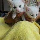 かわいい白猫2匹の里親さんを募集します