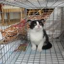 かわいい白黒猫の里親さんを募集します