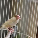 シナモン文鳥(一歳未満里親♀)里親募集