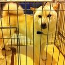 柴犬3歳 オス クリーム色