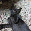 超元気で可愛い黒子猫の男の子!2か月!健康優良児!里親探してます