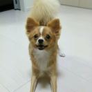 小型犬の雑種(チワワよりのmix)