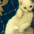 真っ白な生後2ヶ月の白猫♂