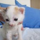 殺処分を免れました 2週齢〜2ヶ月の可愛い子猫達(三毛、白、きじ白)