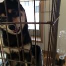 黒柴の成犬の一歳4ヶ月のオスです。