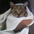 生後2ヶ月半くらいのキジトラ♀
