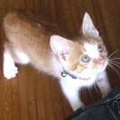 【茶トラ×白 子猫】里親さん募集してます!