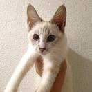 ホワイト?クリーム系美猫