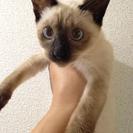 アイルーそっくり美猫