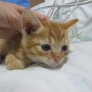 殺処分を免れました 1ヶ月〜2ヶ月の可愛い子猫達(茶トラ、薄三毛、...