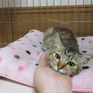 子猫(6~7ヶ月近く)女の子もらって下さい