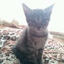 キジトラ猫。オス、メスの兄妹。生後2ヶ月です。