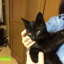 2ヶ月半の黒ちゃんの子猫。オスの兄弟です。