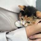 子猫ちゃん、三毛です