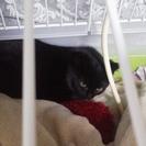 黒猫ちゃんの里親募集です。