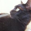 里親募集 綺麗な黒猫ちゃん