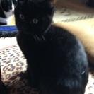 メスの黒猫子猫ちゃんの里親さんを探してます。