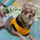 スムースチワワ♂ 3歳