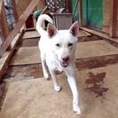 白い犬mix成犬。 番犬向き